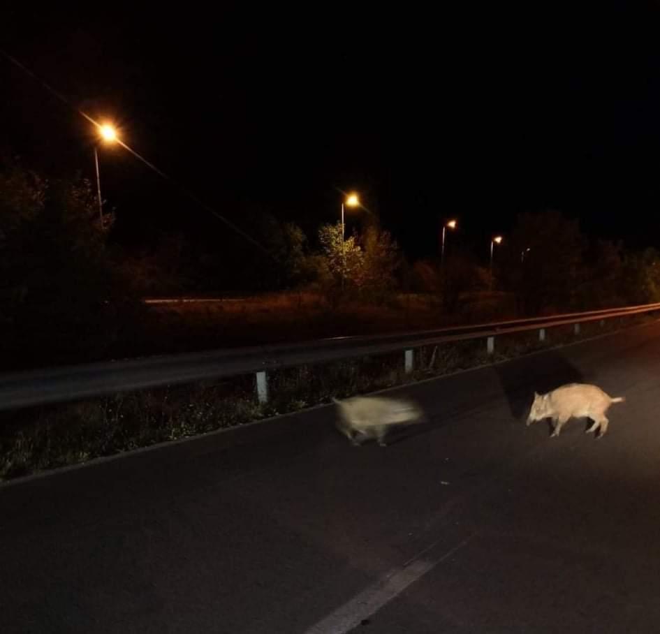 Диви свињи се шетаат на патот Охрид – Св. Стефан