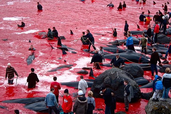 Убиени речиси 1.500 китови и делфини: Контроверзен традиционален фестивал на Фарските Острови