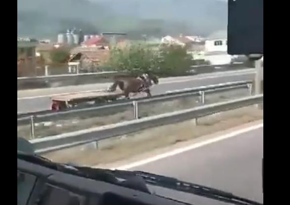 Пријава за сопственикот на коњот кој галопираше на автопатот Тетово-Скопје